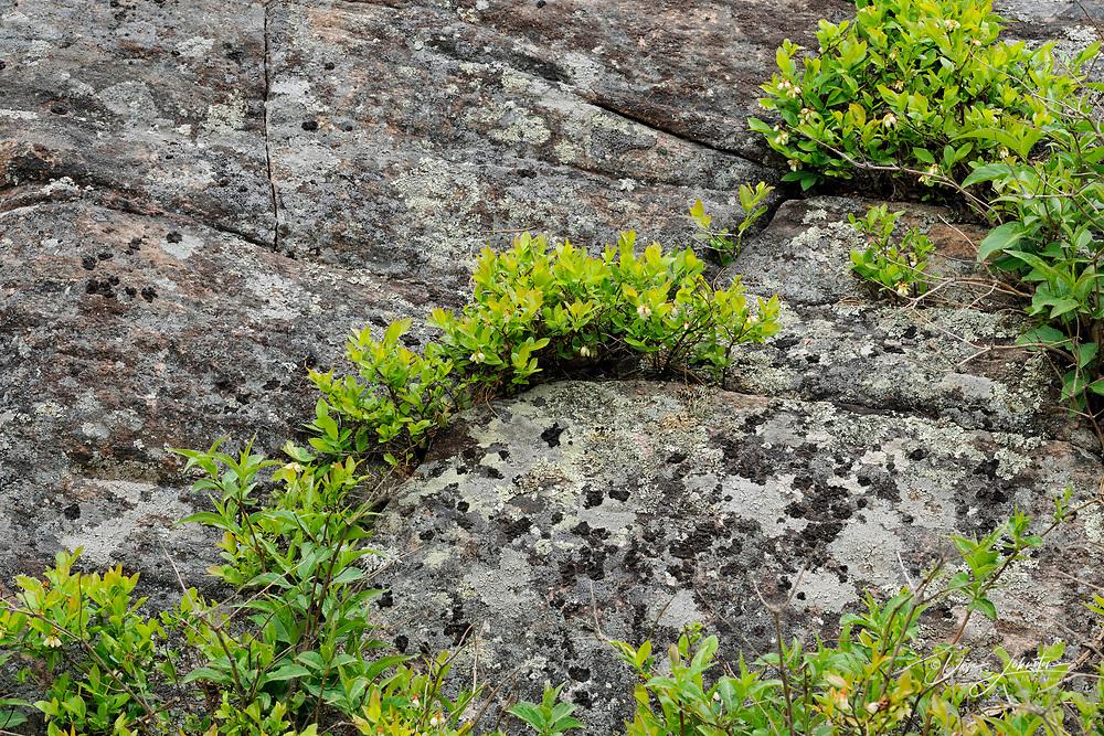 Canadian Shield granite outcrops with flowering lowbush Blueberry shrubs (Vaccinium angustifolium), Killarney, Ontario, Canada