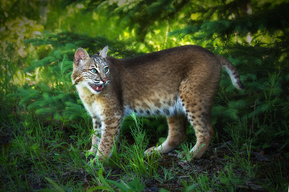 """Adult bobcat<br /> <br /> Available sizes:<br /> 12"""" x 18"""" print <br /> 12"""" x 18"""" gallery<br /> <br /> See Pricing page for more information. Please contact me for custom sizes and print options including canvas wraps, metal prints, assorted paper options, etc. <br /> <br /> I enjoy working with buyers to help them with all their home and commercial wall art needs."""