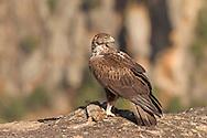Bonelli's Eagle - Aquila fasciata - female