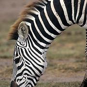 Burchell's Zebra, (Equus burchelli) Portrait. Grazing. Kenya, Africa.