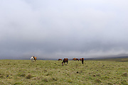 Yanahurco - Wednesday, Dec 26 2007: Horses graze on the paramo at Yanahurco. Hacienda Yanahurco is situated in the Cordillera Real de Los Andes on the South-eastern flank of Cotopaxi Volcano.  (Photo by Peter Horrell / http://www.peterhorrell.com)