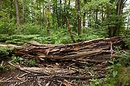 fallen tree in the Wahner Heath, Troisdorf, North Rhine-Westphalia, Germany.<br /> <br /> umgestuerzter Baum in der Wahner Heide, Troisdorf, Nordrhein-Westfalen, Deutschland.