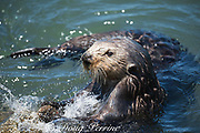 California sea otter or southern sea otter, Enhydra lutris nereis ( threatened species ), smashes a mussel against a rock to break its shell; otters are among few animals known to use tools; Elkhorn Slough, Moss Landing, California, United States ( Eastern Pacific )