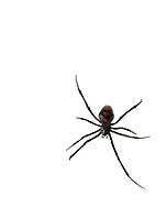 Northern Black Widow (Latrodectus variolus)