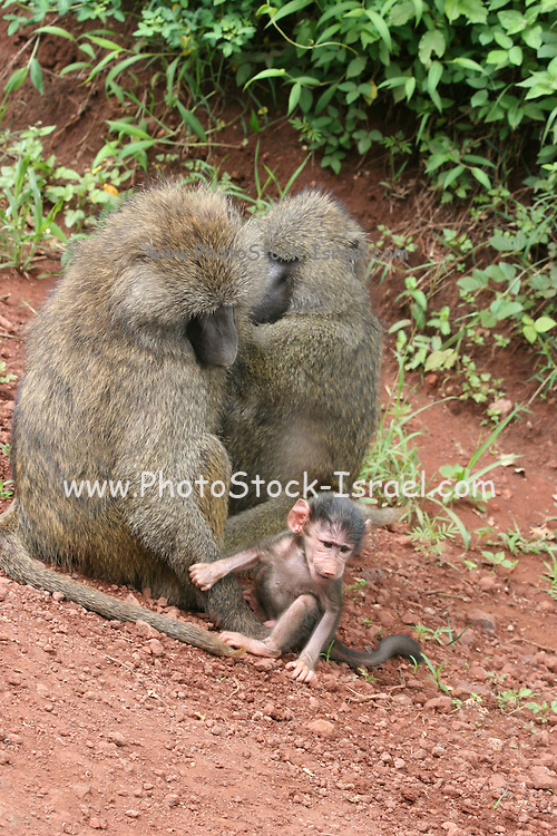 Africa, Tanzania, Serengeti nature reserve, Female and male Olive Baboon (Papio anubis) with baby