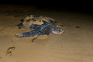 Female Leatherback Sea Turtle (Dermochelys coriacea) returns to the sea after laying eggs