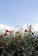 Henley Royal Regatta, Henley on Thames, ENGLAND,  1996,  Poppies, Remingham Hill, Photo: Peter Spurrier/Intersport Images.  Mob +44 7973 819 551/email images@intersport-images.com