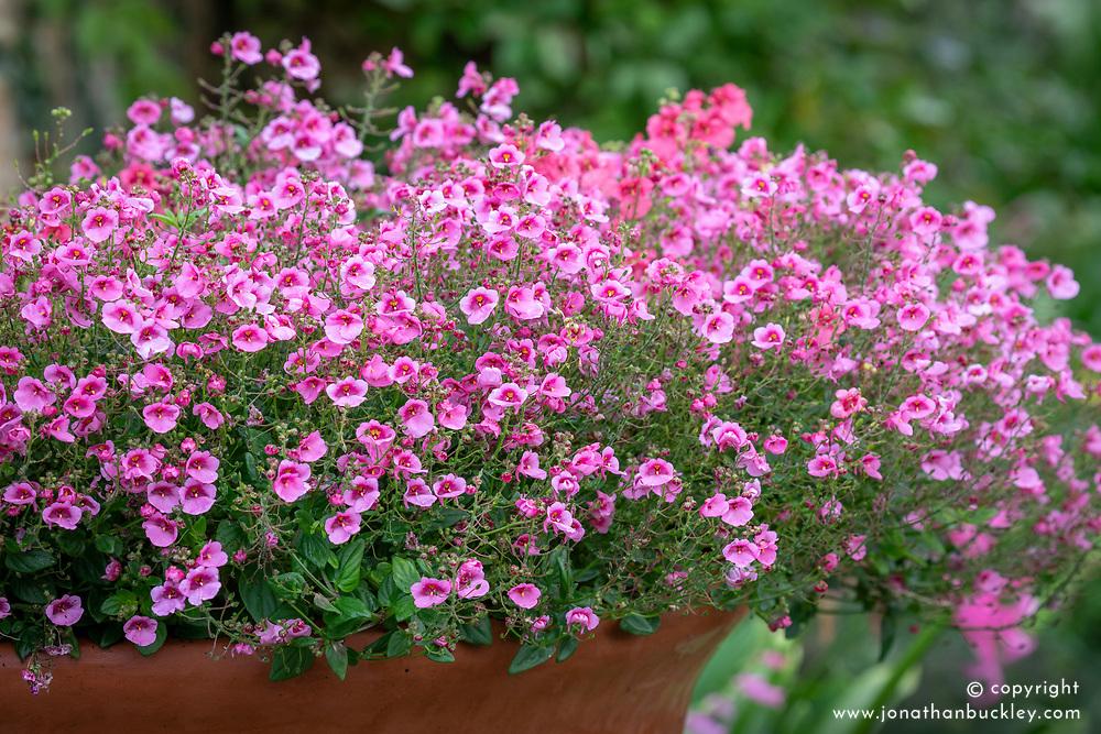 Diascia barberae 'Ruby Field' growing in a terracotta pot