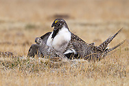 Greater Sage-Grouse - Centrocerus urophasianus - mating pair