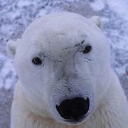 Polar Bear, (Ursus maritimus)  Portrait. Cape Churchill, Manitoba. Canada.