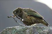 Kea (Nestor notabilis) Arthur's Pass, New Zealand | Kea oder Bergpapagei (Nestor notabilis) - Keas fressen Rinde. Die Vögel haben ein sehr vielfältiges Nahrungsspektrum. Arthur's Pass, Neuseeländische Alpen, Neuseeland.