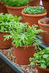 Mustard 'Green Frills' in a terracotta pot