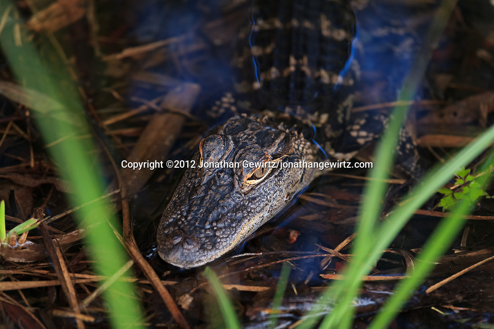 An immature American Alligator (Alligator mississippiensis) in shallow water along the Anhinga Trail in Everglades National Park, Florida. WATERMARKS WILL NOT APPEAR ON PRINTS OR LICENSED IMAGES.