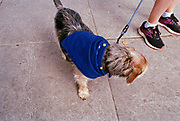 A dog dressed in a EU flag during People's Vote March, London 2019.