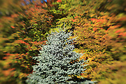 A selective focus image of a blue spruce tree contrasted against colorful maple leaves. Certain Lensbaby images, like this one, seem almost three dimensional.