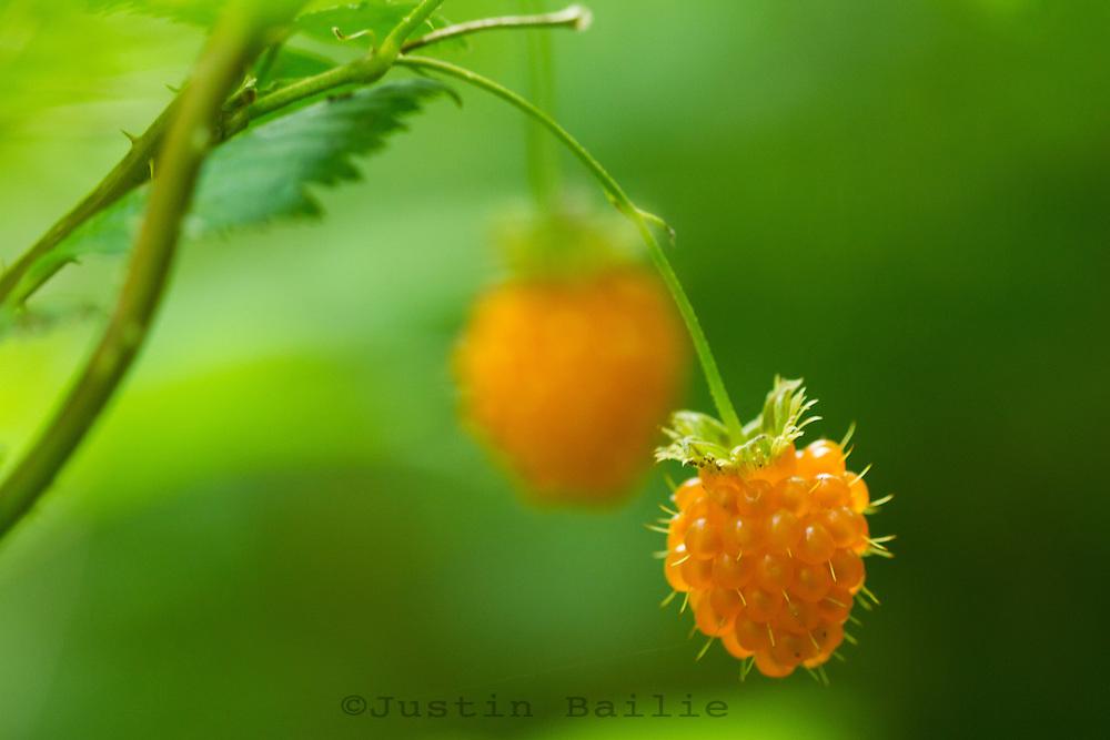Close up shot of wild salmonberries (Rubus spectabilis) Oregon