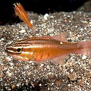 Mollucan Cardinalfish inhabit sheltered reefs. Picture taken Halmahera Islands, Indonesia.