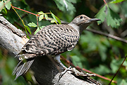 Female Northern Flicker, Sandia Mountains, New Mexico