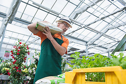 Male gardener carrying fertilizer bag on shoulder in greenhouse, Augsburg, Bavaria, Germany
