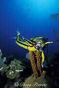 diver examines yellow tube sponges or sulfur sponge, Aplysina fistularis ( formerly Verongia fistularis ), Ambergris Caye, Belize, Central America ( Caribbean Sea ) MR 106