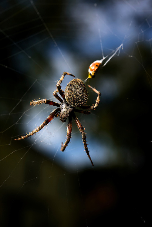 Baltimore, Maryland - October 29, 2016: The Barn Spider that guards our garage against ladybugs and flies. <br /> CREDIT: Matt Roth