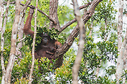 Borneo Orangutan (Pongo pygmaeus wurmbi) and it's tiny infant take shelter from heavy rain in Tanjung Puting National Park, Kalimantan, Indonesia