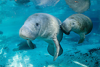 Florida manatee, Trichechus manatus latirostris, a subspecies of the West Indian manatee, endangered. A series of male and female courting or cavorting behavior with more manatee in the background. The couple swims into strong, warming sunlight. The male touches and rubs the female with his snout. Horizontal orientation with beautiful blue spring water. Three Sisters Springs, Crystal River National Wildlife Refuge, Kings Bay, Crystal River, Citrus County, Florida USA.