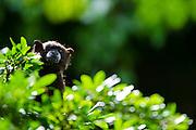 Black-mantled Tamarin (Saguinus nigricollis) CAPTIVE<br /> Yasuni National Park, Amazon Rainforest<br /> ECUADOR. South America<br /> HABITAT & RANGE: Northwest Amazon in Colombia, Ecuador, Peru and Brazil.