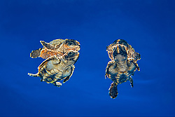 loggerhead sea turtle hatchlings, Caretta caretta, in open water, Sargasso Sea, North Atlantic Ocean
