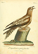 Fork-tailed Nighthawk Bird of Prey from the Book Histoire naturelle des oiseaux d'Afrique [Natural History of birds of Africa] Volume 1, by Le Vaillant, François, 1753-1824; Publish in Paris by Chez J.J. Fuchs, libraire 1799