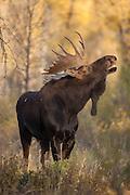 Shira's bull moose during the autumn rut in Wyoming