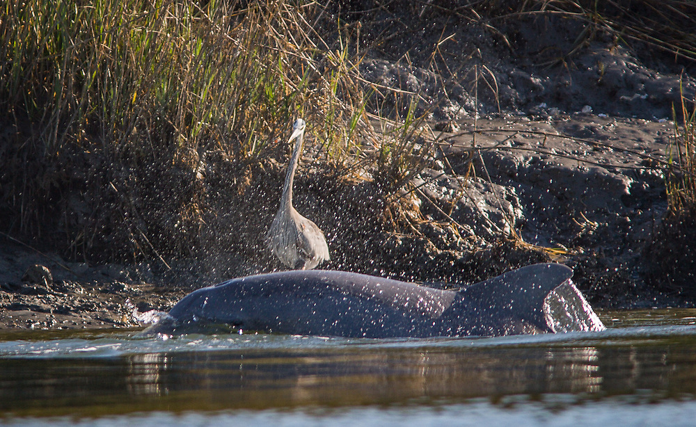 A great blue heron stands ready to grab fish stirred up by a strand-feeding Atlantic bottle-nose dolphin.