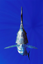 Blue Marlin, Makaira nigricans, off Kona Coast, Big Island, Hawaii, Pacific Ocean, Digital Composite.
