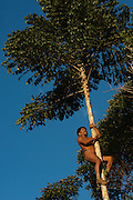 Huaorani man, Meñewa Wane climbing a tree<br /> Bameno Community. Yasuni National Park.<br /> Amazon rainforest, ECUADOR.  South America<br /> This Indian tribe were basically uncontacted until 1956 when missionaries from the Summer Institute of Linguistics made contact with them. However there are still some groups from the tribe that remain uncontacted.  They are known as the Tagaeri & Taromenane. Traditionally these Indians were very hostile and killed many people who tried to enter into their territory. Their territory is in the Yasuni National Park which is now also being exploited for oil.