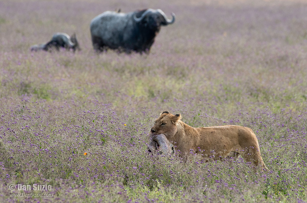 A female Lion, Panthera leo  melanochaita, carries the remains of a Thomson's Gazelle, Eudorcus thomsonii, in Ngorongoro Crater, Ngorongoro Conservation Area, Tanzania. In the background are two Cape Buffalo, Syncerus caffer.
