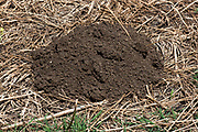 Mounds in a field dug by the Middle East blind mole-rat or Palestine mole-rat (Spalax ehrenbergi) (also known as Nannospalax ehrenbergi) is a species of rodent in the family Spalacidae