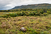 A female adult Brown Bear known as 435 Holly, walks through the high grass at in Katmai National Park and Preserve September 15, 2019 near King Salmon, Alaska. The park spans the worlds largest salmon run with nearly 62 million salmon migrating through the streams which feeds some of the largest bears in the world.