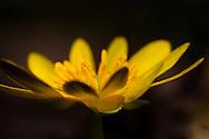 France, Languedoc Roussillon, Gard (30), Cevennes, fleur de Renoncule ficaire, N.L.: Ranunculus ficaria, (Renonculacées)