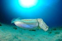 Common Cuttlefish (Sepia officinalis)   Sepia oder Gemeiner Tintenfisch, Gozo, Maltese Islands