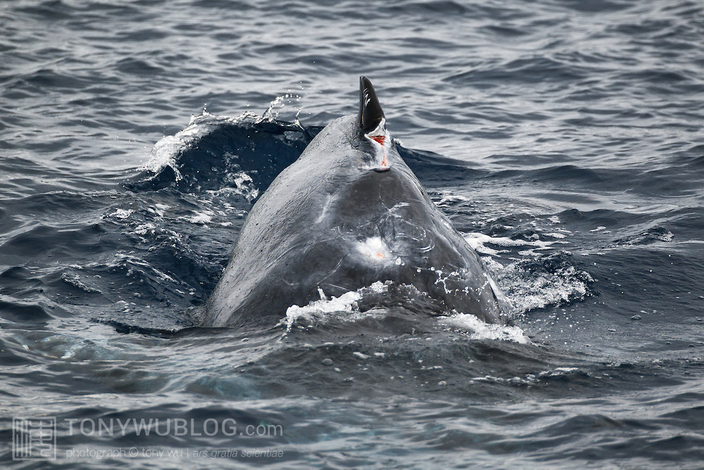 This photograph shows the progress of healing of the wounds on the dorsal surface of injured humpback whale calf Tahafa (calf 201114). I took this photo during my ninth and final encounter with this calf and his mother. The missing chunk on the anterior portion of the calf's dorsal fin is clearly visible, though the wound has healed quite a bit since my first sighting of this calf just over a month earlier. The other wound on his back, anterior of the dorsal fin, has healed nicely, with just a small open area still visible. My best guess is that a false killer whale attack is the cause of the injuries to the calf.