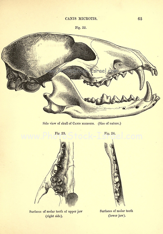 """Skull of the short-eared dog (Atelocynus microtis [Here as Canis microtis]), also known as the short-eared zorro and small-eared dog, is a unique and elusive canid species endemic to the Amazonian basin. This is the only species assigned to the genus Atelocynus From the Book Dogs, Jackals, Wolves and Foxes A Monograph of The Canidae [from Latin, canis, """"dog"""") is a biological family of dog-like carnivorans. A member of this family is called a canid] By George Mivart, F.R.S. with woodcuts and 45 coloured plates drawn from nature by J. G. Keulemans and Hand-Coloured. Published by R. H. Porter, London, 1890"""