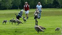 MOLENSCHOT - Princenbosch Golf. Ganzen op de golfbaan.
