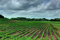 Midwestern scenic of crops growing in the fields creating a panoramic horizon.<br /> <br /> <br /> HDR - High Dynamic Range processing applied