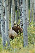 7 point bull elk in aspen grove during autumn rut
