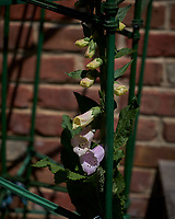 Foxglove. Image taken with a Leica CL camera and 60 mm f/2.8 lens (ISO 100, 60 mm, f/5, 1/1250 sec).