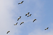 White stork (Ciconia ciconia) flock in flight. Sussex, UK.