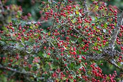 Hawthorn berries and lichen. Crataegus monogyna - Common hawthorn, Maythorn, Motherdie, Quickthorn, Hedgerow thorn