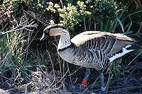 Nene, Hawaiian Goose at Haleakala National Park. Image taken with a Nikon D3x and 70-300 mm VR lens (ISO 800, 220 mm, f/8, 1/250 sec)