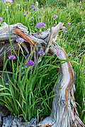 Wild Onion and Pine Snag, Yosemite National Park, California