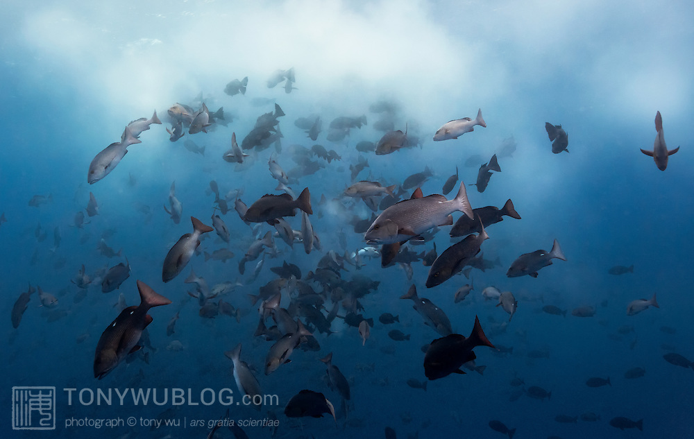 Thousands upon thousands of two-spot red snapper (Lutjanus bohar) spawning together in the early morning, producing a milky-white cloud of sperm and eggs. Photographed in Palau.